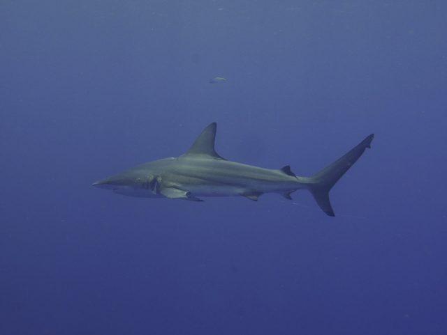 ケラマにサメが来たぞー!!